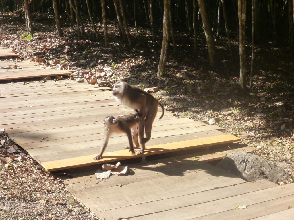 Dva makakové si to rozdávají v džungli Khao Yai.